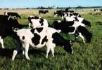 Коровы могут вызвать новую мировую эпидемию суперинфекций