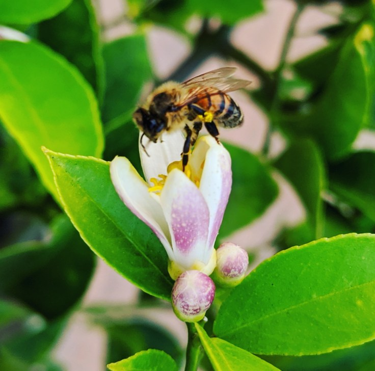Bee harvesting pollen from a lemon flower