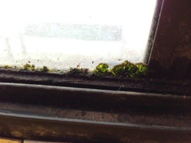 Window algae