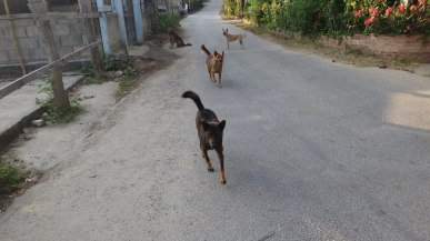 Dogs - The Garbage Gang - Chiang Mai Thailand