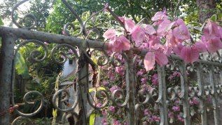 Pink Flowers on Gate - Chiang Mai Thailand