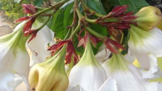 White Flowers Stems - Chiang Mai Thailand