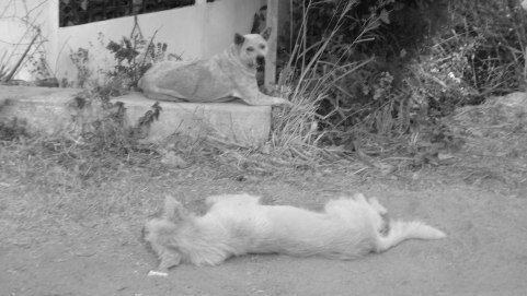 Dogs by the Chicken Farm