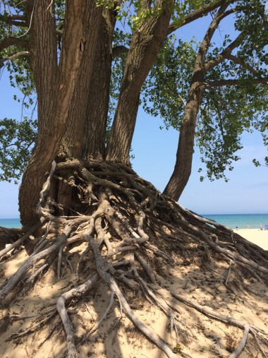 The gnarled roots of this cottonwood tree cling to the sand despite the erosion of the dune surrounding it.