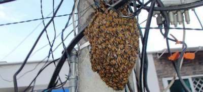 Incremento de incidentes con abejas: aprenda a diferenciar entre enjambre y colmena