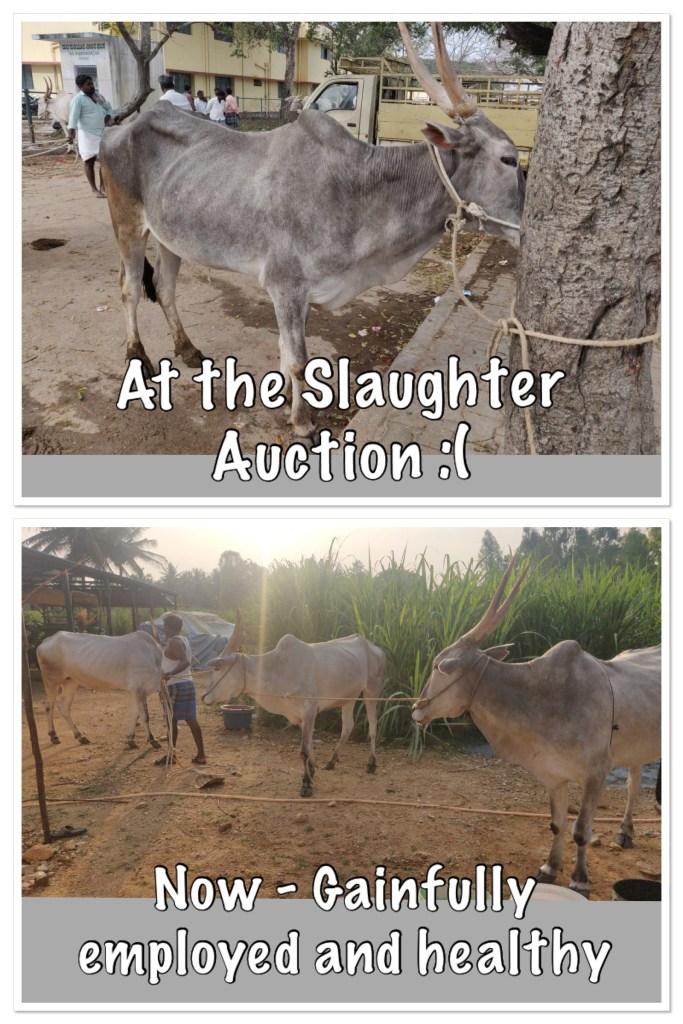 Bull slaughter