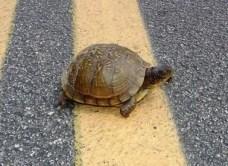 turtle-on-road_original