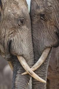 two elephants tusks eyes head to head
