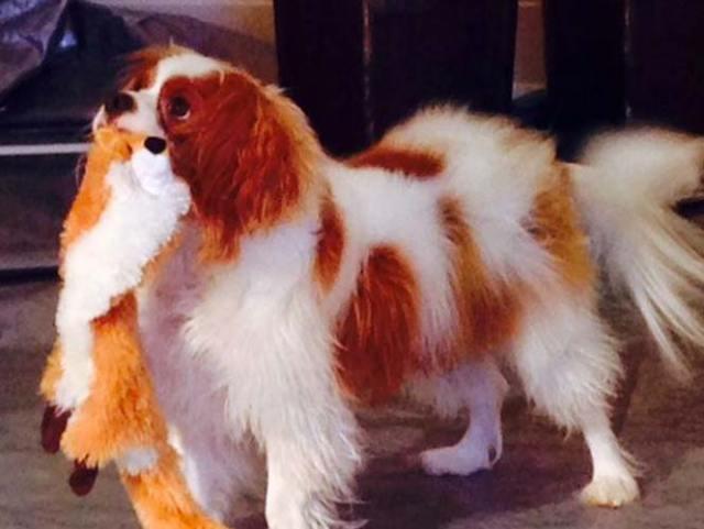 Perro de enfermera de Dallas da negativo en prueba de ébola