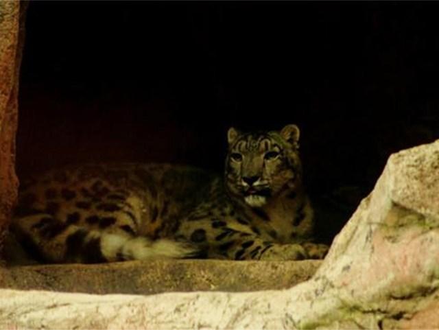 Donan leopardo en peligro de extinción al Zoológico de Chapultepec