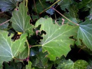 Ravageurs des végétaux: et voici l'otiorhynque, lui aussi présent dans mon jardin !