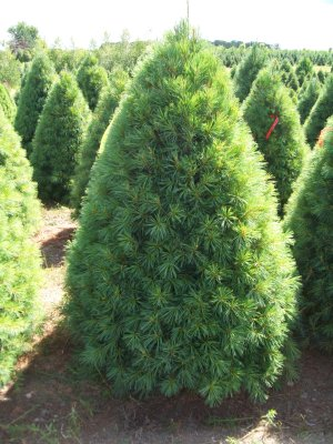 Christmas Tree Varieties Available Christmas Tree Types