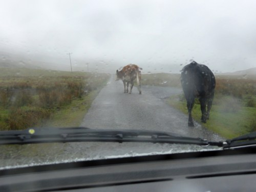 wet cows ambling along road