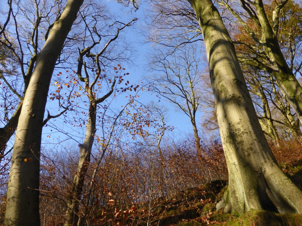 strong trunks against blue sky