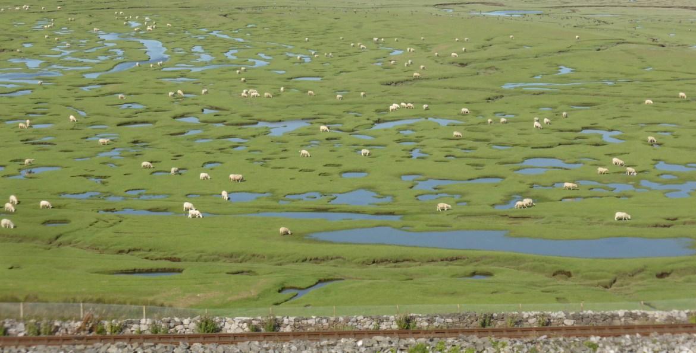 pattern of sheep and saltmarsh