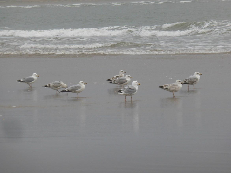 herring gulls on the shoreline, watching