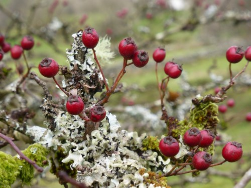red berries and white lichen