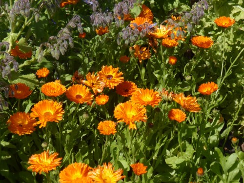 calendula and borage