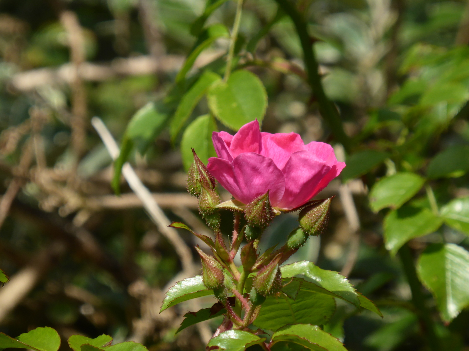 pink wild rose catching the sun