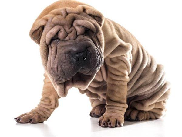 11. Chó mặt nhăn Shar-pei Chó mặt xệ