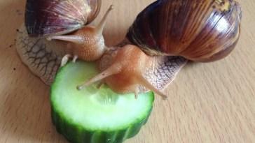 eating-snails-benefit-health