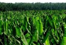 plantain Farming