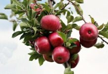 Start Apple Farming in Nigeria