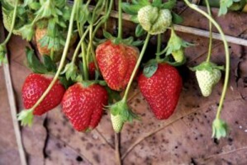 Strawberry - One of the fruits that boost imunity