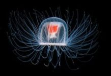 Jellyfish - Animals With the Longest Lifespan