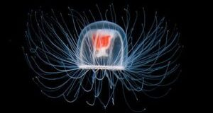 Jellyfish -Animals With the Longest Lifespan