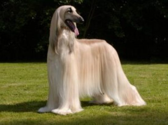 Afghan Hound - most expensive dog breeds in the world