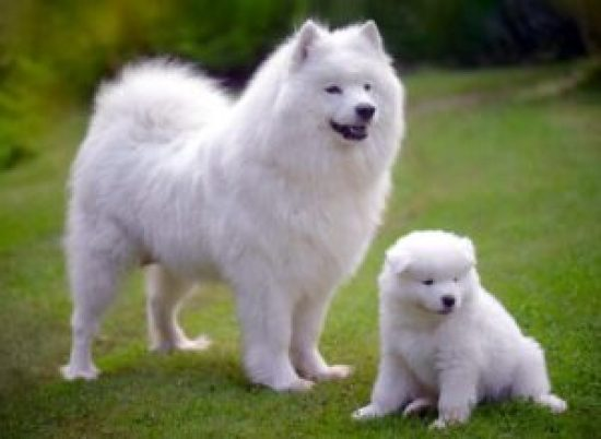Samoyed - most expensive dog breeds in the world