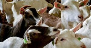 alt-Price-of-goats-in-Nigeria