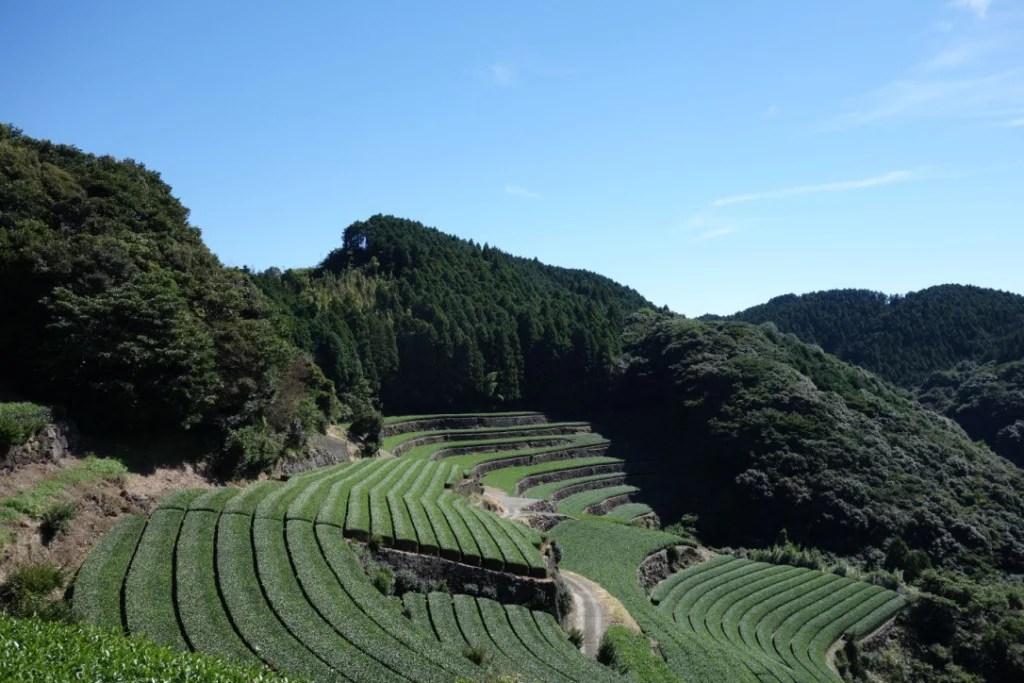 大村湾望む天空の茶園