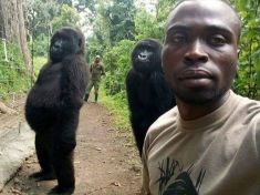 The gorillas seen trying to imitate humans