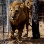 Residents In Panic As Lion Escapes From Kano Zoo