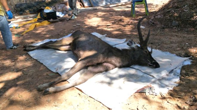 Deer found dead in Thailand with 7kg underwear and plastic bags in stomach - 9News Nigeria