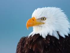 Cause of mysterious bald eagle deaths found after 25 years
