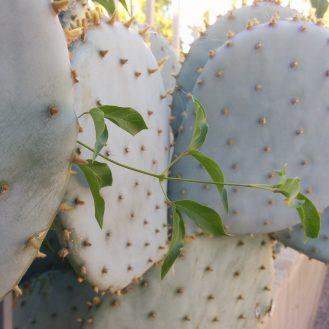 5-cactus