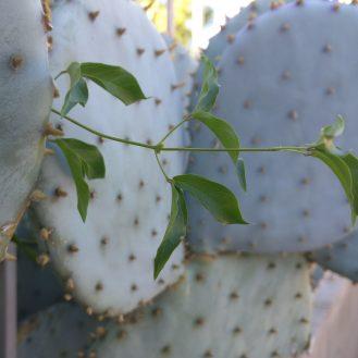 nex-cactus