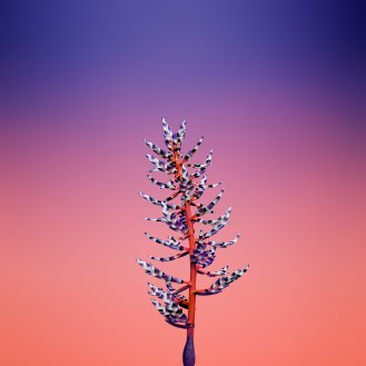 iOS_11_GM_Wallpaper_Flower_AECHMEA