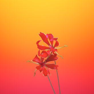 iOS_11_GM_Wallpaper_Flower_GLORIOSA