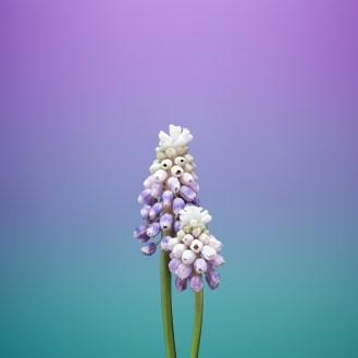 iOS_11_GM_Wallpaper_Flower_MUSCARI