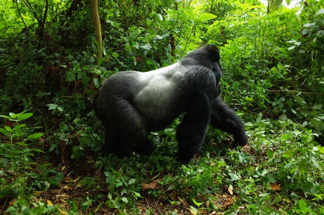 mountain gorillas, virunga, drc