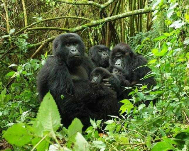 Gorilla Trek Virunga