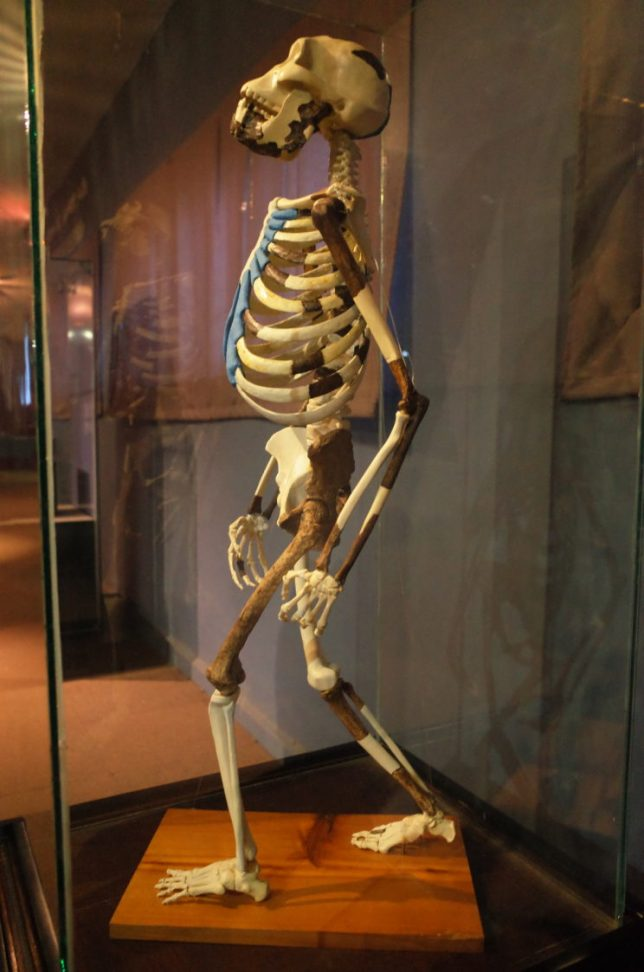 Lucy the ancient humanoid in Addis Abeba