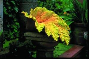 097_Gunnera_leaf