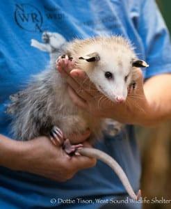 Luna, the Virginia opossum and Wildlife Shelter educational ambassador.