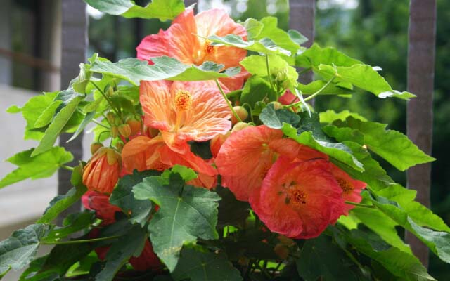 It is necessary to provide Abutilon bright, but at the same time scattered lighting