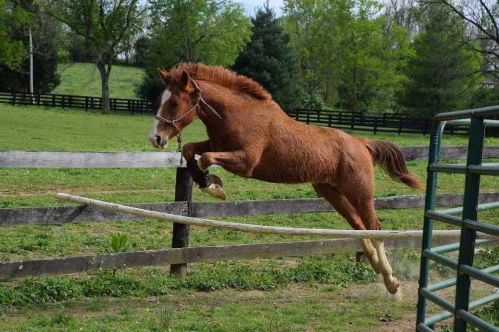 Merin Horse adalah